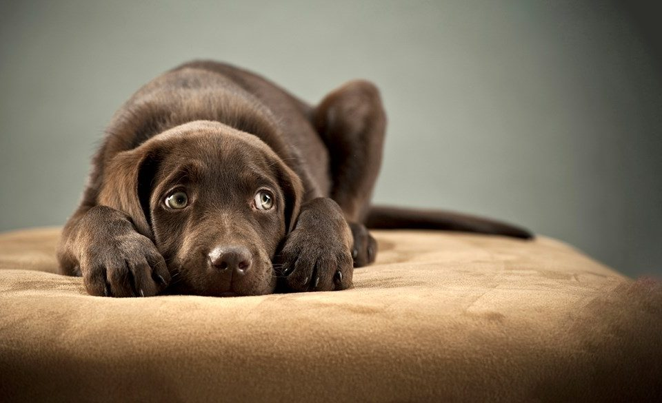 good care for your Labrador Retrievers
